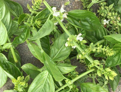 Basilicumplant verzorgen