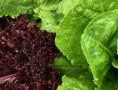 Sla uit eigen tuin, simpele en gezonde groente